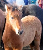 Bay Foal - Horse Stock by thevirtualgaucho