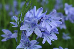 blue bells, I love you~ by chihirophotograper