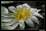 White Waterlily by carterr