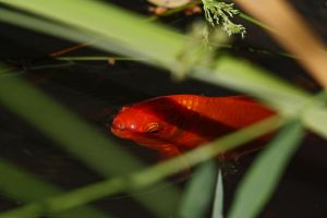 Red Fish or Gold Fish? by organicvision
