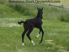 Arabian Colt 004 by Notorious-Stock