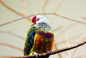 Marianas Fruit Dove by Riphath