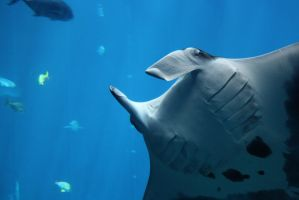 MANTA RAY II by Little-Bluefish