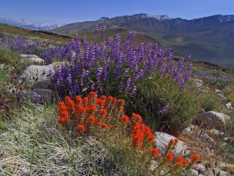 Paintbrush and Bush Lupine by dirtbear