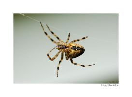 Araneus diadematus by butterfly36rs