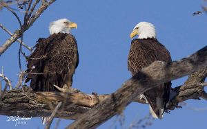 Eagles a pair by DGAnder