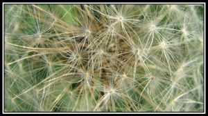 Dandelion Seeds by picworth1000wrds