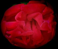 Face of a Rose by Tailgun2009