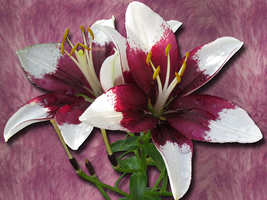 Asiatic Lilies Wallpaper by WDWParksGal-Stock