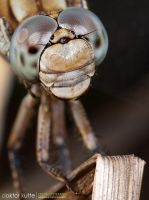 Dragonfly by Stefano-Coltelli