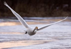 Swanflight by Orzel