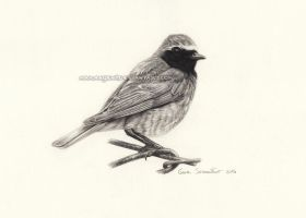 Common Redstart - pencil by makangeni