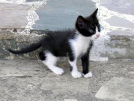 tuxedo kitten 2 by Yavanna-stock