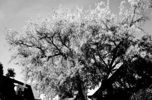 Silver Tree by ChappyApple