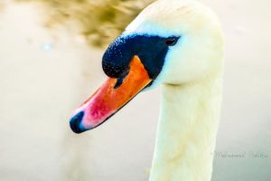 Swan 3 by DestinyMedia