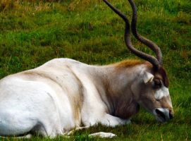 Addax - Screwhorn Antelope by markeverard