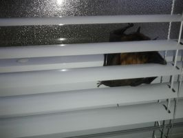 Bat caught in the office by kyupol