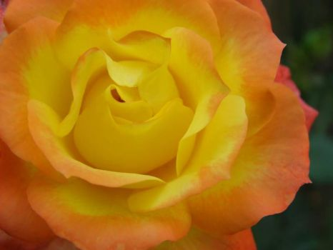 Coloured rose by CathyBrookes