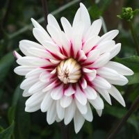 Dahlia by Angie-Pictures