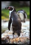 Penguin Pose by TVD-Photography