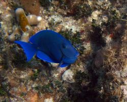 Fish - Blue Tang 5 by Lauren-Lee