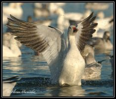 Snow Goose 28 by Ptimac