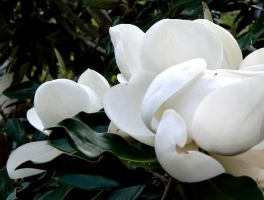 Magnolias in a Row by WrongSideofYourBed
