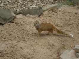 Mongoose stock 1 by LJZedstock