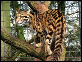 Clouded leopard tree climbing by AzureHowlShilach