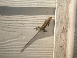 Anole by boxofslavery