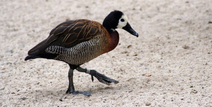 White Faced Whistling Duck by Mikaboshi