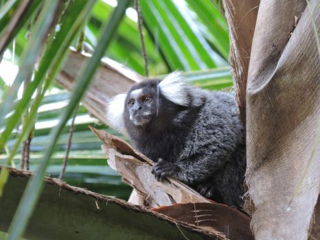 Sagui by Ronnielven