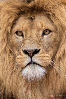 African lion portrait. by Ravenith