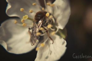 Bee by PaulCastleton