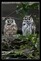 Owls by leocbrito