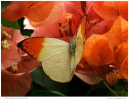 Great Orange Tip Butterfly by In-the-picture