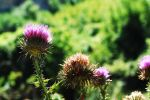 Thistles by geographu