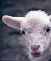 Baby Lamb by catlover