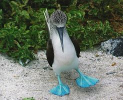Blue footed booby by professorwagstaff