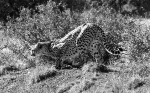 cheetah bnw by Seth-Desmoen