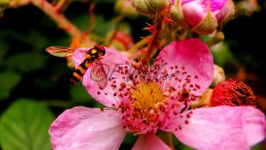 Hoverfly On Pink by LittleMissMischief