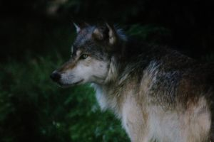 Timber Wolf at Dusk by OrioNebula