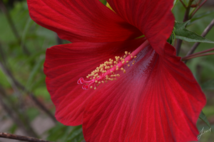 Red Hibiscus by JustLexa