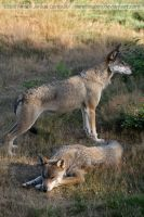Les Loups De Chabrieres by darkcalypso