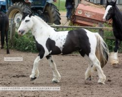 Traditional Gypsy Cob Stock 1 by s-uperflu0us