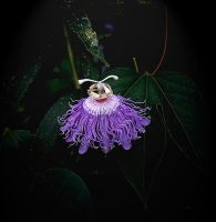 Purplepassionflower13 by boron