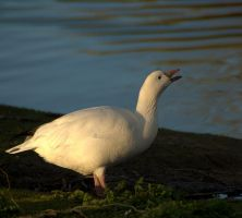 Ross's Goose drinking by Isyala