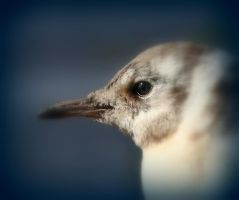 Small gull kid in the sun by Sparvoga