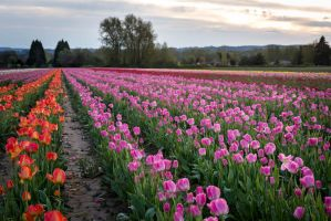Tulip Field by Jorgipie
