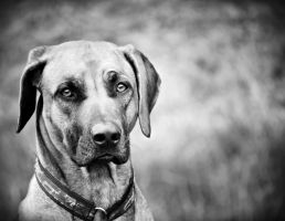 The Ridgeback by Honeycorn